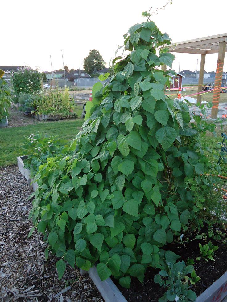 Bean Trellis Vegetable Gardening Pinterest