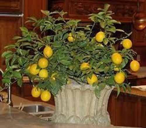 How to grow a dwarf lemon tree indoors gardening pinterest - Limonero en maceta ...