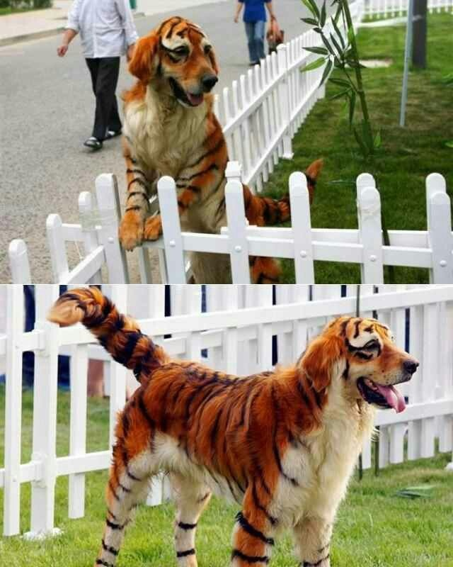 Dog that looks like a tigerDog That Looks Like A Tiger