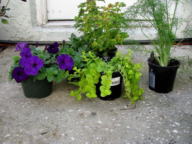 Trailing plants | Patio | Pinterest