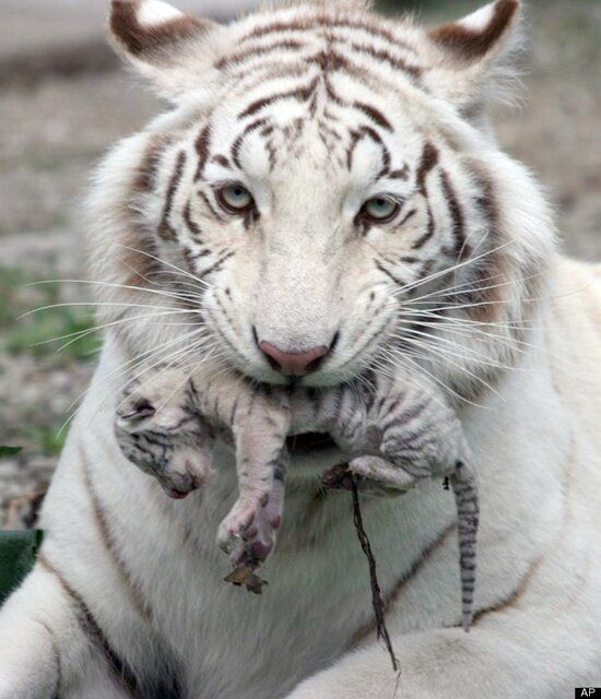 Newborn baby white tiger | Lions & Tigers & Bears etc ...