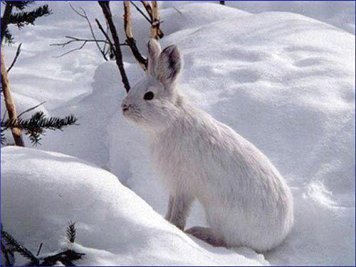 wild rabbit with it's winter coat