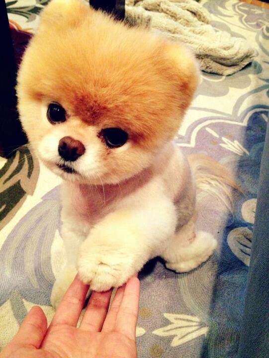 Pomeranian Boo Haircut