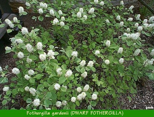 fothergilla gardenii dwarf fothergilla plant list