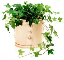 Love the way ivy plants look when they dangle off the side a tall bookcase or closet!