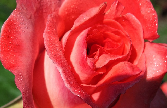 Feliz Sant Jordi !!, via Flickr.   Mis Fotos   Pinterest