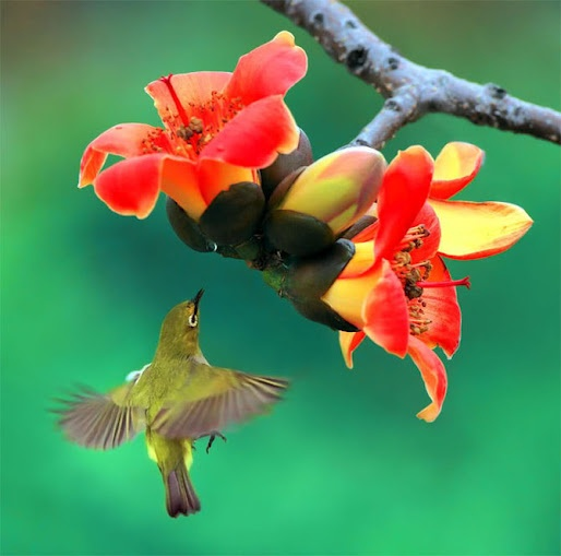 Andrew Mashnich  Immagini di uccelli di John Soong (John Soong) - colibrì