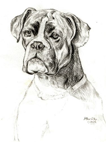 Line Drawing Of A Boxer Dog : Boxer dog line drawing