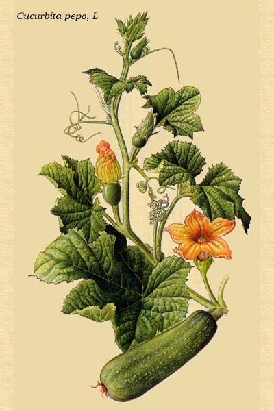 Calabacín | PLANTAS MEDICINALES | Pinterest