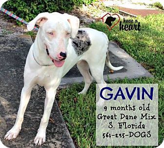 Boca raton fl great dane mix meet gavin a puppy for adoption