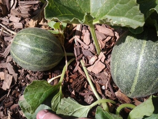 Ice box watermelon just beginning to grow