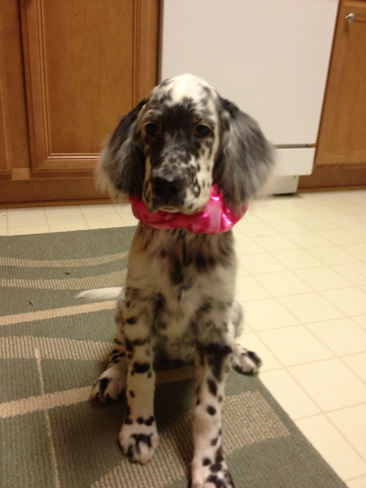 Puppies - Editions English Setters