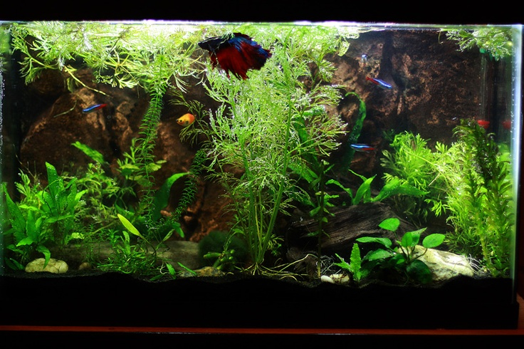 betta tank with live plants mr fish pinterest