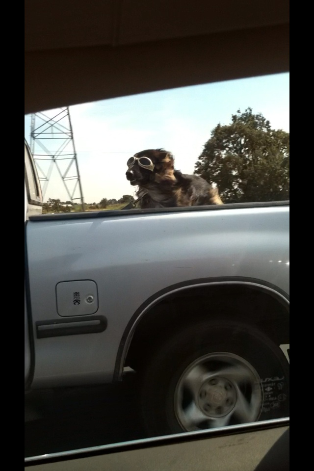 Dog wearing goggles while riding in the back of a truck, so cool!