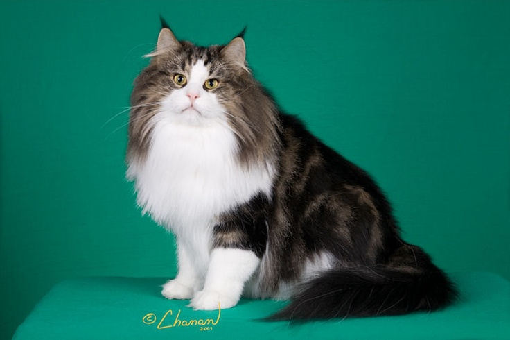 Vanir Harry Potter--one of TICA's top #Norwegian Forest cats