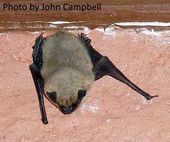 Western pipistrelle - photo#11