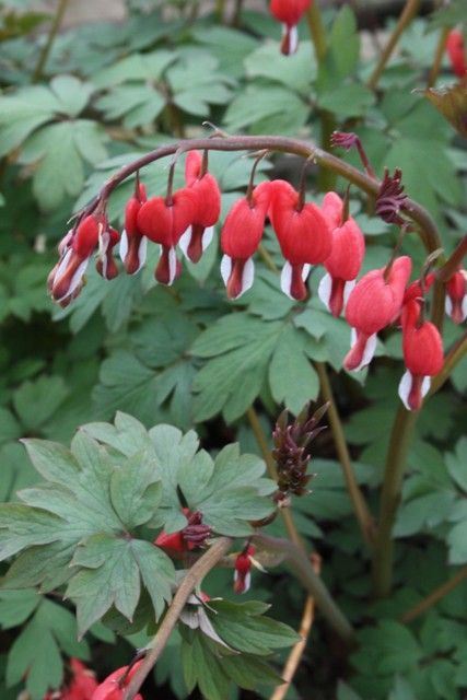 Dicentra 'Valentine' wow an actual red bleeding heart!!!