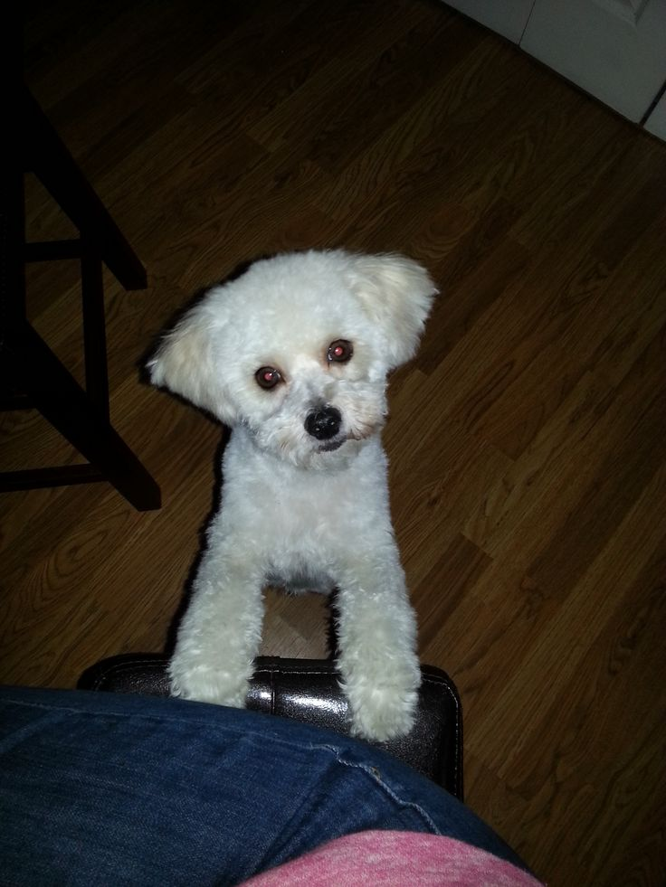 Charlie39;s new Haircut.. love the ears. Maltipoo / Maltepoo / Maltese