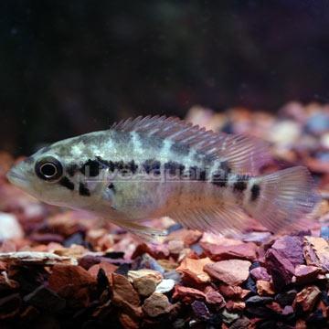 Managuense Cichlid Aquariums, Fish and Products! Pinterest