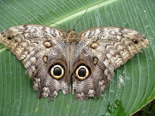 Owl butterfly - photo#12