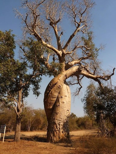Baobab Amoureux- Baobabs In Love