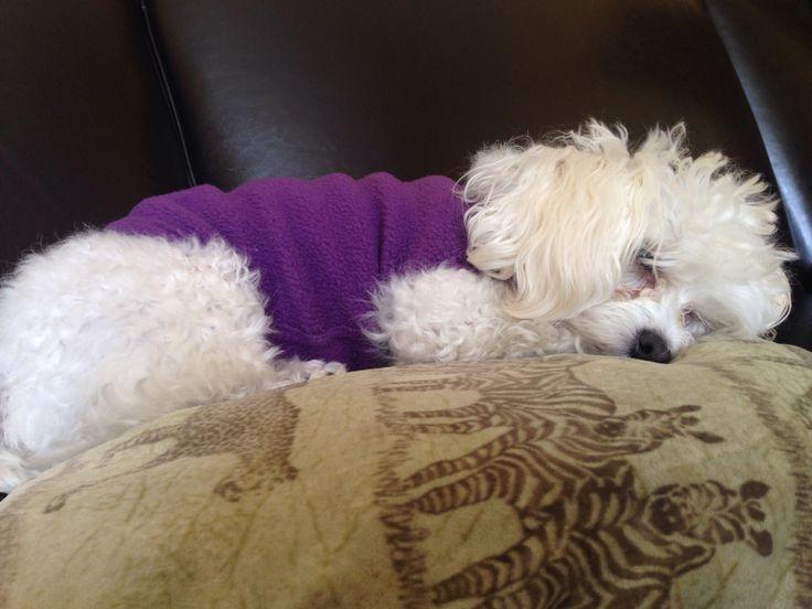 Toy poodle - sleeping | Toy Poodle | Pinterest