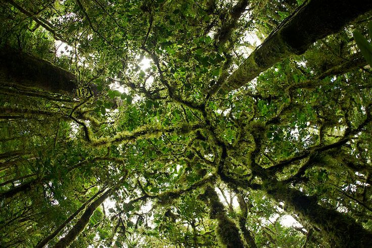 Rainforest canopy trees pinterest for Canopy of trees