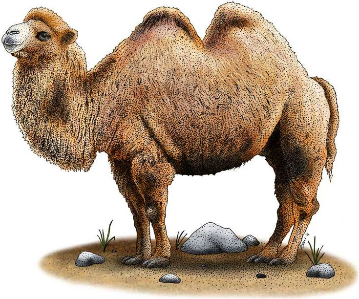 bactrian_camel ink illustration stipple