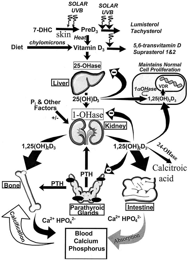 Detailedresult moreover Diagram Of Iron Absorption besides C 5 also Internal Organs Of Human Body as well Search. on calcium metabolism diagram