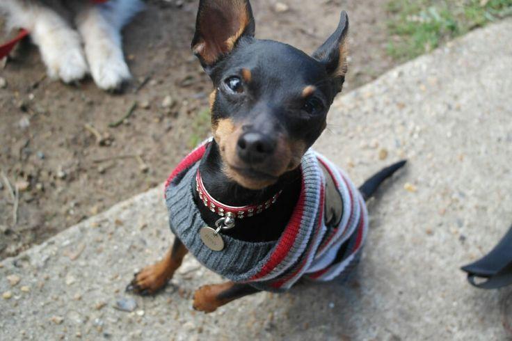 Roxy miniature pinscher  Pets , shelties and mini pins  Pinterest
