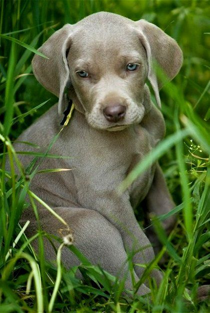 Cute Weimaraner Puppy | Animal Shots | Pinterest