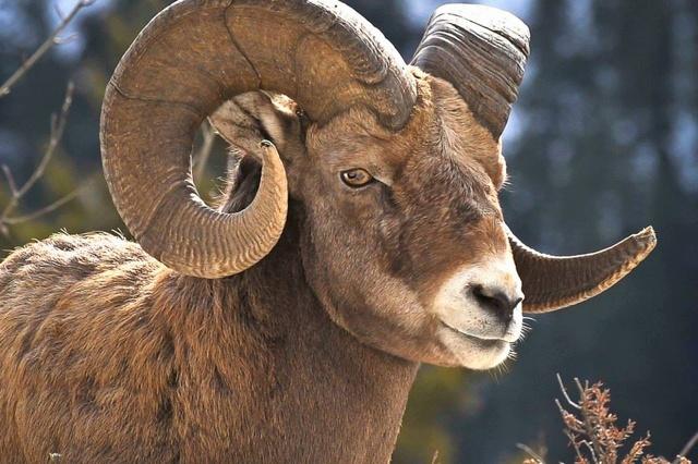 Ram Animal Quotes Quotesgram