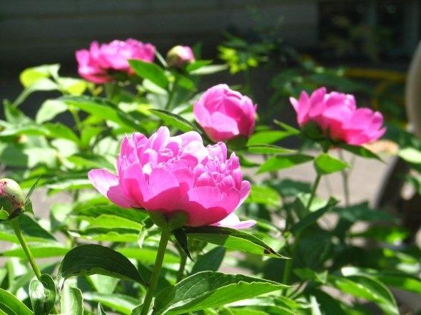 fragrant peonies - growing tips