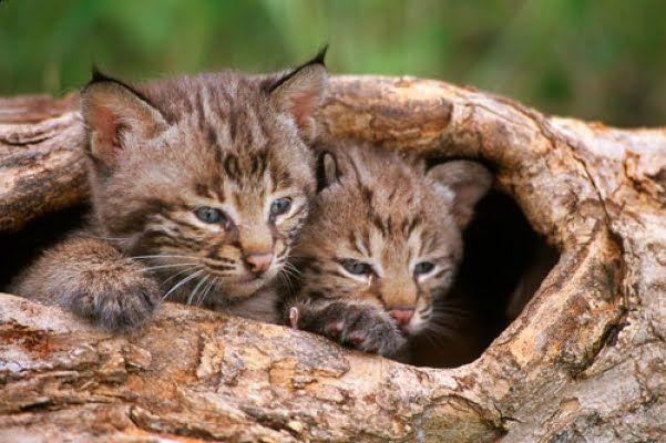Cute baby bobcat - photo#16