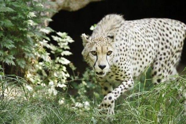 Cheetah - Wikipedia