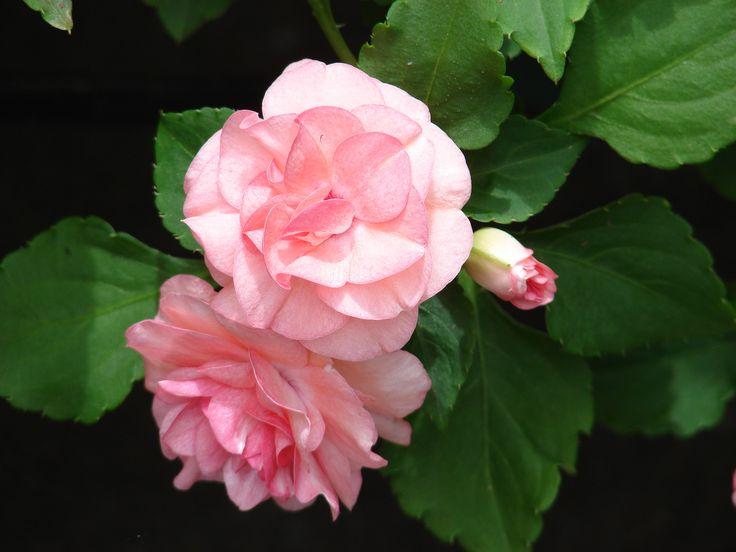 Double impatiens Flowers