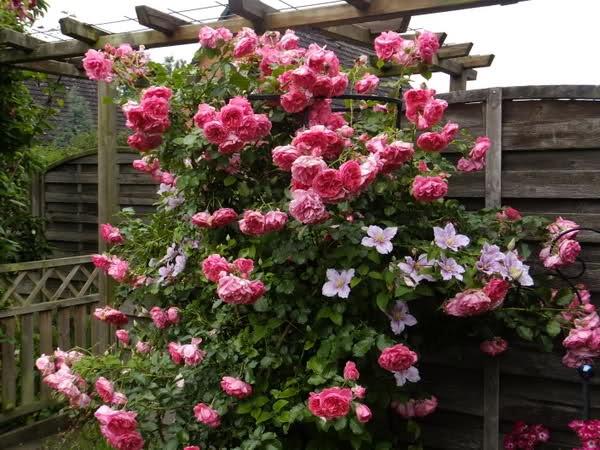 rose rosarium uetersen roses pinterest. Black Bedroom Furniture Sets. Home Design Ideas