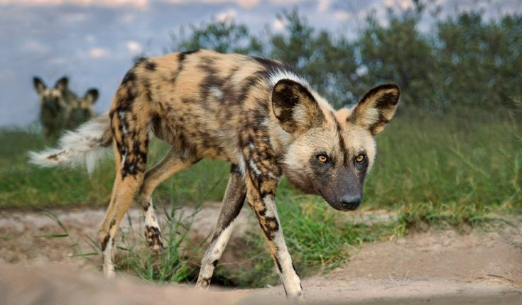 African Wild Dog Up-Close Places To Visit. Pinterest