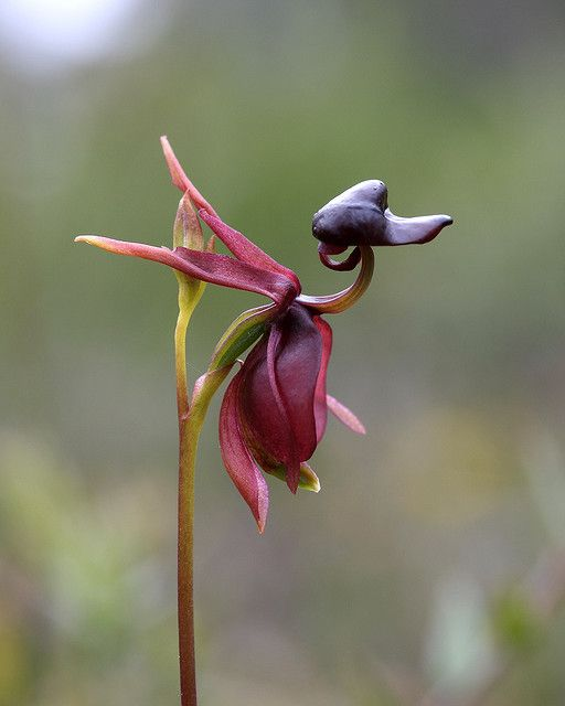 Duck-orchid