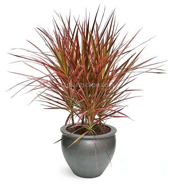 dracaena marginata tricolor moisture 7 house plants. Black Bedroom Furniture Sets. Home Design Ideas