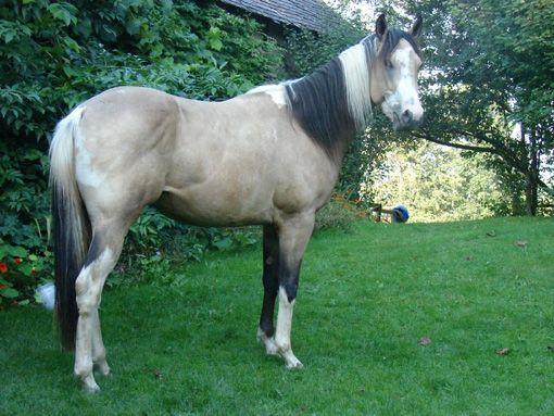 Paint Horse   ID  883 219  2006  Buckskin Roan Tobiano -15 16 handBuckskin Roan Tobiano