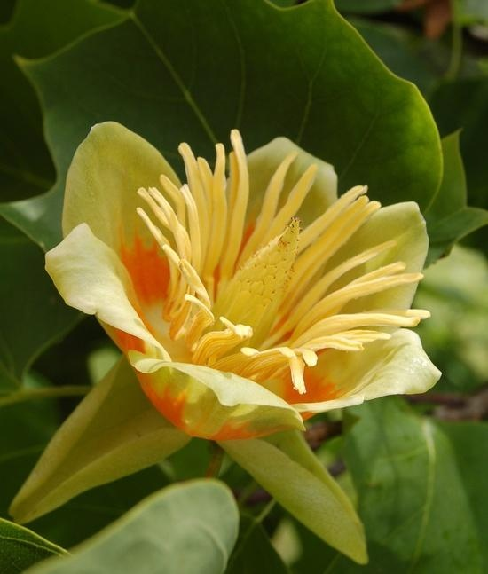 Tulip Poplar Tree Facts Tulip Poplar Tree Flowers