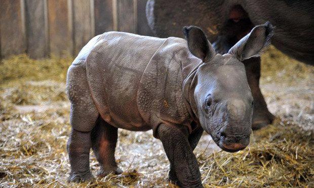 Baby Rhinoceros Rhinoceros Baby