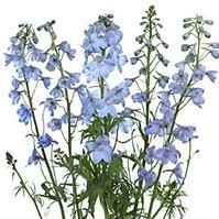 Delphinium Light Blue