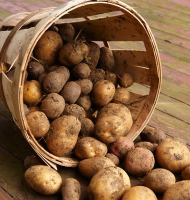 The ideal storage temperature for potatoes is 40ºF, which is on the warm end of most home refrigerators, and they don't like light, which can cause them to turn green. Basements or cellars usually provide perfect potato-storage conditions that will keep them from rotting for between 2 and 4 months. Keep them away from onions and apples, wherever you store them, as both emit gases that speed up the ripening process.