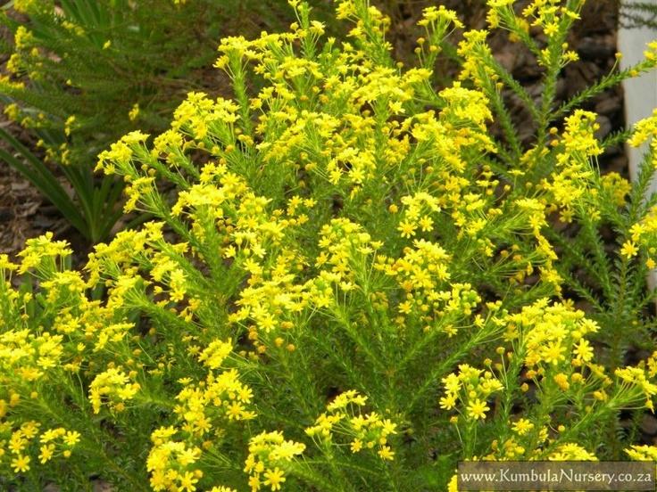 Euryops virgineus | Garden: ent.gd.sina.com.cn/news/2011/10/10/images/811.htm