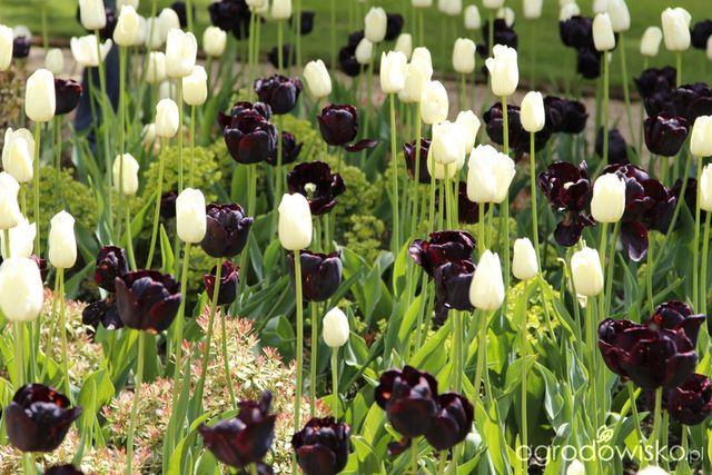 Galeria zdjęć - Tulipany w duetach - Ogrodowisko