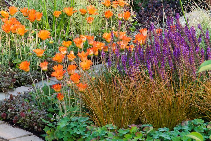Pin by donna boatman on pond plants pinterest for Ornamental grass with purple flowers