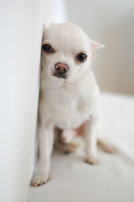 white dog looks like a Chihuahua? | WOOF WOOFS | Pinterest