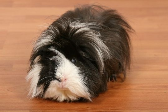 Long haired guinea pig - photo#16